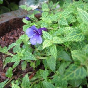 ***ついに花が咲いたトレニアと雨の中の小花たち