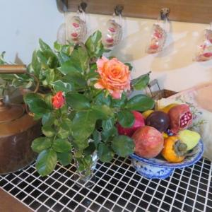 ***台風17号通過中とイヴ品種バラの開花途中の美しさ