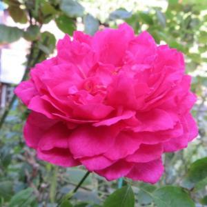 ***大人シックな香りバラ『ルージュドゥパルファン』&元気が出た小花たち