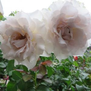 ***台風を目前に壊れたバラのひな壇の応急措置&台風前のバラの消毒