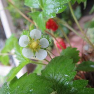 ***絵になるワイルドストロベリーと雨に耐え咲く美しいバラたち