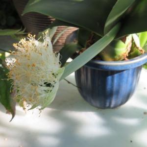 ***またまた義父の大事件&マユハケオモトにお花が&DA/ER切り花種のバラたち