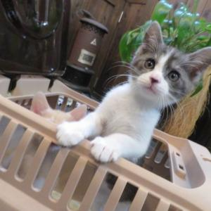 ***野良の保護猫里親決まるももう一匹(;;)テッポウムシにやられたサハラ挿し木しました