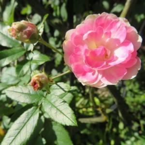 ***お気に入りの『ことり』の開花とレンゲローズの愛らしさ