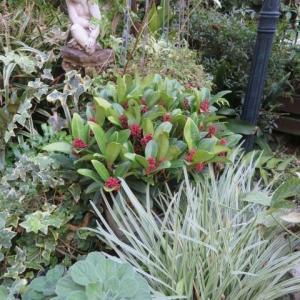 ***カラーリーフのクリスマスローズ不思議な新芽&やっと開花の秋明菊