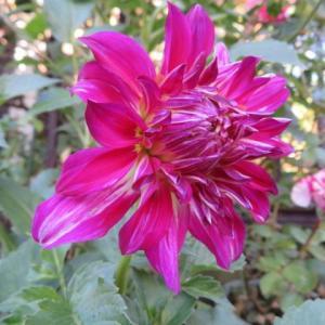 ***まだまだ美しいイブ品種のバラの開花とバラの消毒&今年も咲いた宿根ダリア