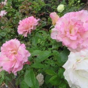 ***愛してやまない魅了されるバラ『ムーンボウ』&シロマンエの愛らしい七変化