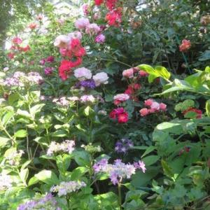 ***アジサイとバラの競演が楽しめる今年の春&香水のバラ『ラグジュノーブ』