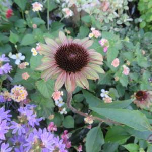 ***小さな庭に今年も咲く宿根草たち&実りが楽しみな畑仕事と今日の薔薇