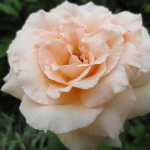 ***不安を抱えた一か月&バラの消毒と幸せな一日 &もう少し!