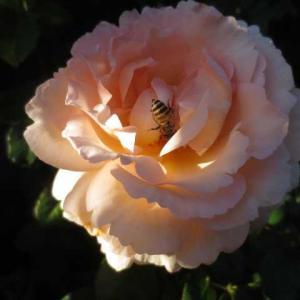 ***(。´・ω・)?ペレニアルガーデンって知ってましたか?&バラの消毒