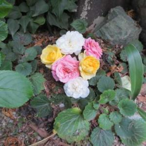 ***(´;ω;`)悲しい自然の摂理とクリローのお世話&テラスの花達