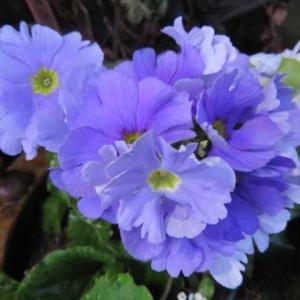 ***今日もこつこつバラの剪定と春のお花をお迎え&『ツクバエクスプレス』バラ!