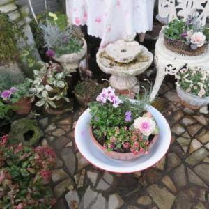 ***(^O^)/掘り出し物がやってきた&今日も一日庭仕事&バラ剪定54鉢