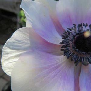 ***( *´艸`)麗しのアネモネと魅力的な蕊&バラの剪定59鉢とバラの挿し木10品種
