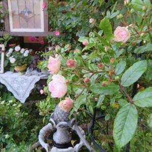 ***(≧◇≦)不思議なワンコのお客様&美しいツルバラたちと雨上がりの寂しさ