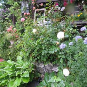 ***(´▽`*)久しぶりに母とサブに会いに行く&イブのバラ達の競演とミニバラの大鉢の開花
