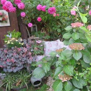 ***(^^♪今週の裏庭作り1日目&エンジェリカの魅力&シャルロッテとイヴスプラッシュの比較