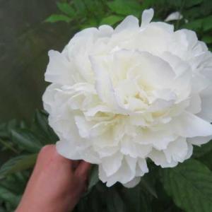 ***(* ´艸`)これから重宝する品物到着&ツルバラの最高な時&開花してきたアジサイ