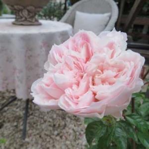***( *´艸`)緑深い、バラの2番花を待つ庭&無断侵入防ぐポールチェーン