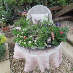 ***(´▽`*)挿し木新苗のお花の素晴らしさ&お迎えした花達のご紹介と植え替え&2番花が綺麗