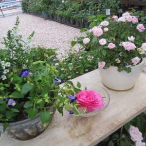 ***ヽ(^o^)丿今週の裏庭作り・板壁完成まじか&花苗の植え替えとクリロー種取