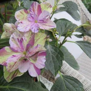 ***(*''▽'')大人色絞りアジサイ『衣純千織』&愛らしい草花とサブんちのバラ