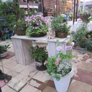 ***('◇')ゞお迎えしたお花達の寄せ植え作り&梅酢紅ショウガとサブの事