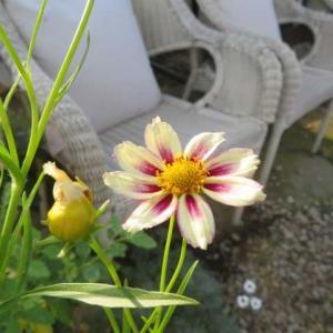 ***(*´ω`*)今週の裏庭作りと寄せ植えをテラスに飾る&頑張ってるサブに勇気をもらう