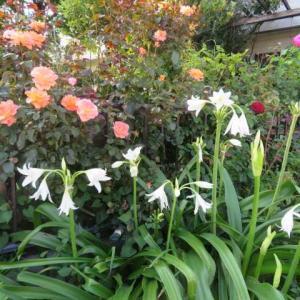 ***(*^。^*)義父のインドハマユウが今年も開花&年越しの小花たちお開花とサブの事
