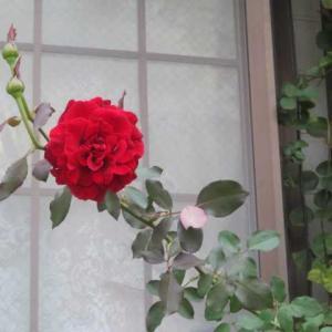 ***(´;ω;`)あれほど言ったのに!無残なツルバラ&お花畑のようなバラ達に癒されて