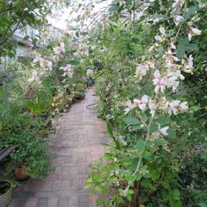 ***(*´▽`*)母の退院が決まりました!&最後のブドウの収穫とバラの恩恵