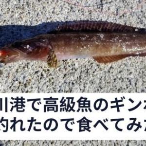 女川港で高級魚の銀宝(ギンポ)が釣れたから食べてみた!捌き方も紹介