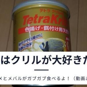 メバルなど海水魚を飼育できるオススメの餌は?最初の餌付けはルーチン化【食事動画あり】