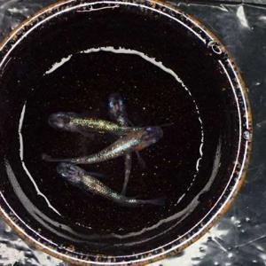 昨日ヤフオクに出品した個体達  三色ラメ体外光 ・夢桜ヒレナガ