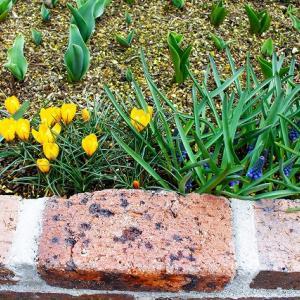 花壇に植えた花とクリスマスローズ