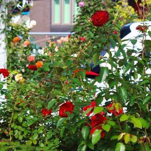 秋バラと苔のその後
