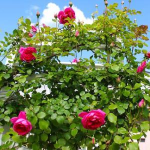 今年のバラが咲き始めました