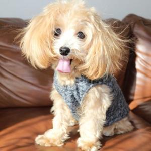 マルプー犬cocoaに似合いそうなヘアスタイル5選!