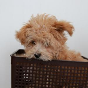 箱入り犬なんて呼ばせない〜しつけ日記開始〜【マルプーcocoa】