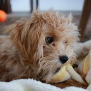 犬は毛布も大好き(暖かいがおもちゃにもなる)