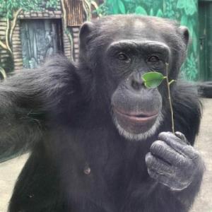 チンパンジー、オランウータンから学ぶお話。