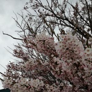 薄曇りの空の下、咲き誇る桜は