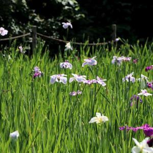 行田公園の花しょうぶ