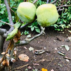 Apples   「林檎たち」