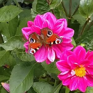 今日のツーショット?ボヘミアの蜂と蝶。