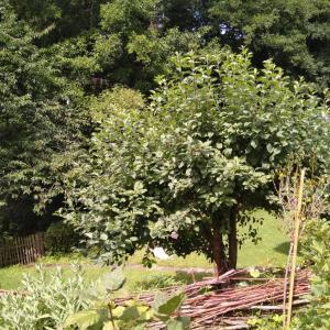 林檎の木の下、いや、上で。(注・虫画像あり)