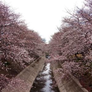 【長女日記】桜だより