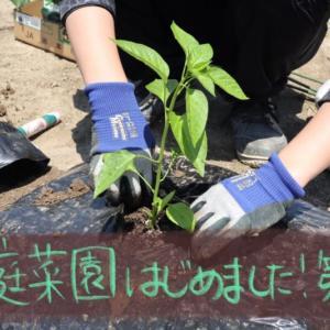 【家庭菜園はじめました第2話】夏野菜の苗を買って、畝を作り、植えました!