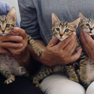 1247〜1249番 元気いっぱい子猫の運動会開催中 キジ3きょうだい 里親募集